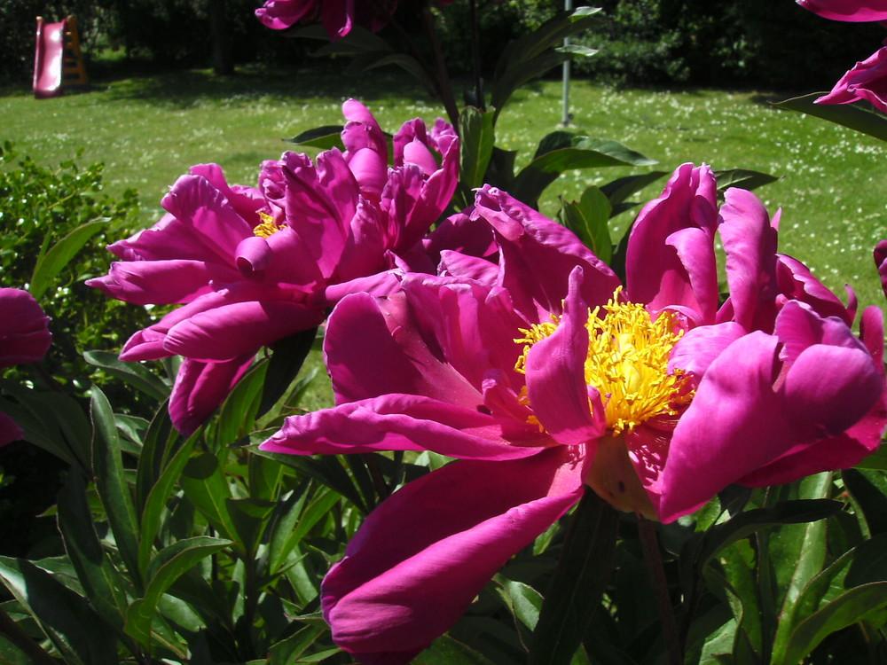 Meine Lieblingblume