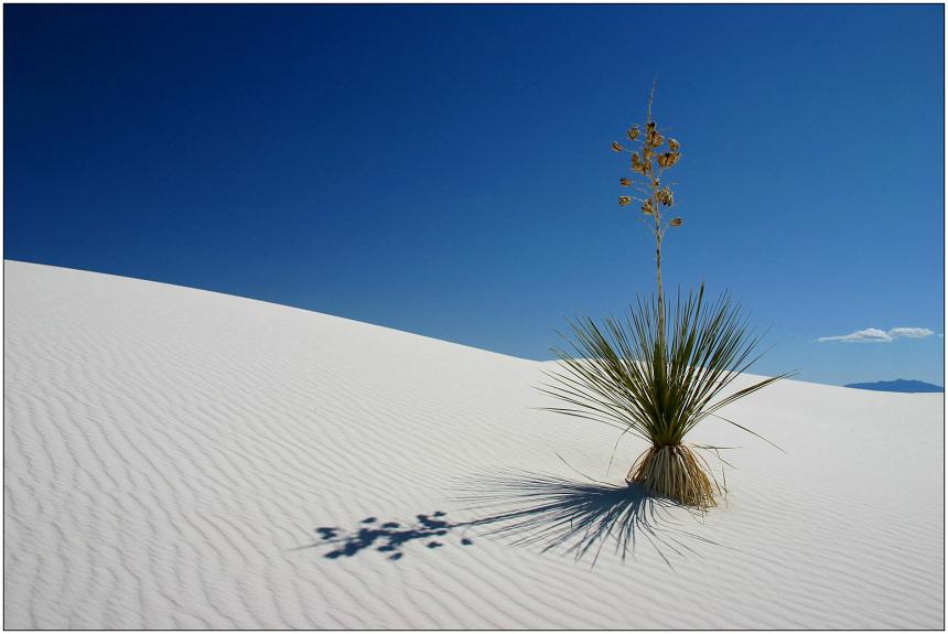 meine lieblings-yucca ... reload