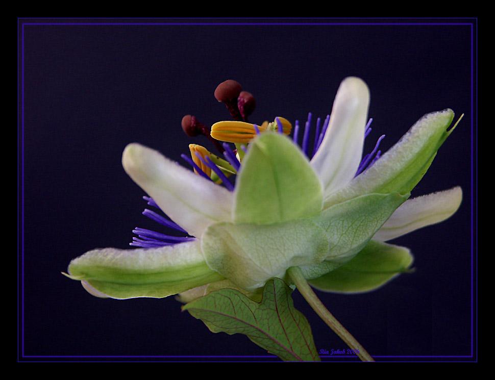 meine lieblingsblume II.............