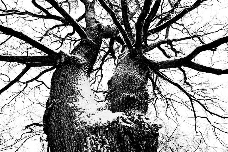 """""""Meine"""" Lieblingseiche winterlich"""