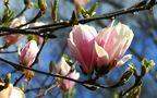 'meine liebste' Magnolien-Blüte von Volker a.H.