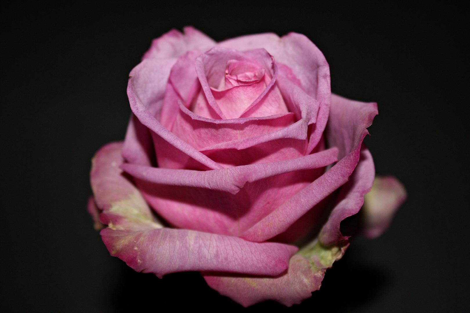 meine lila Rose für die FC