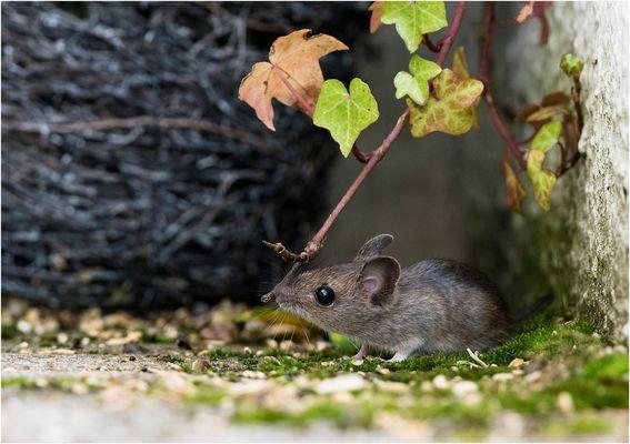 Meine Maus....