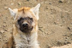Meine niedliche kleine Hyäne