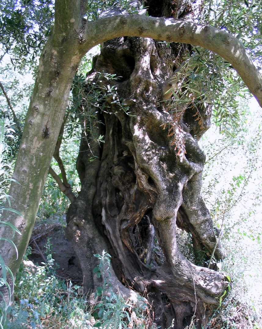 meine olivenbaum----------i miei ulivi:::::::::::::::::*