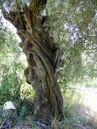 meine olivenbaum----------i miei ulivi