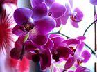 Meine Orchidee LURI