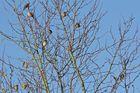 Meine Pflaumenbaum-Bande - Haussperlinge (Passer domesticus) - Bild 1