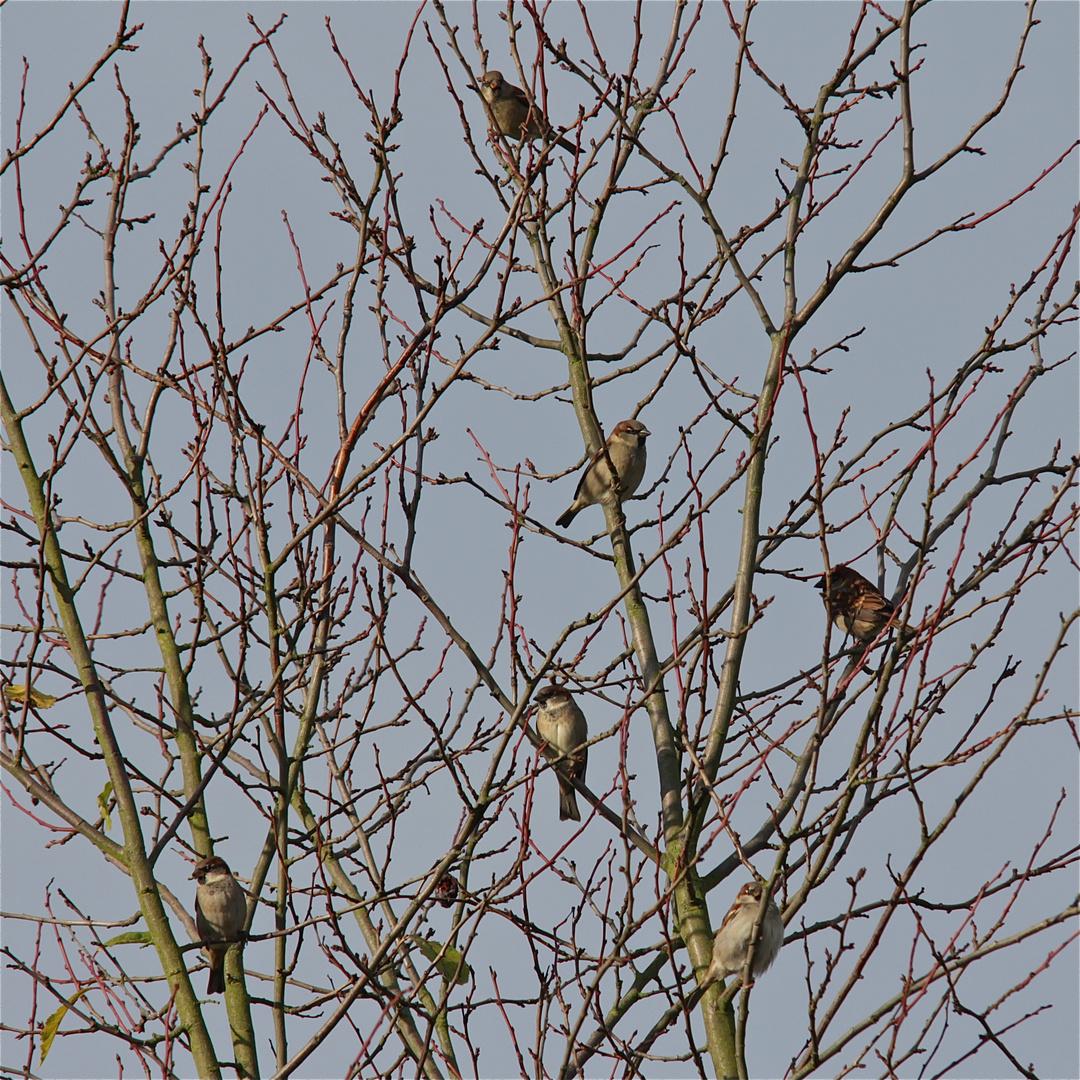 Meine Pflaumenbaum-Bande, hier 60 Prozent der Mitglieder - Bild 2 der Haussperlinge