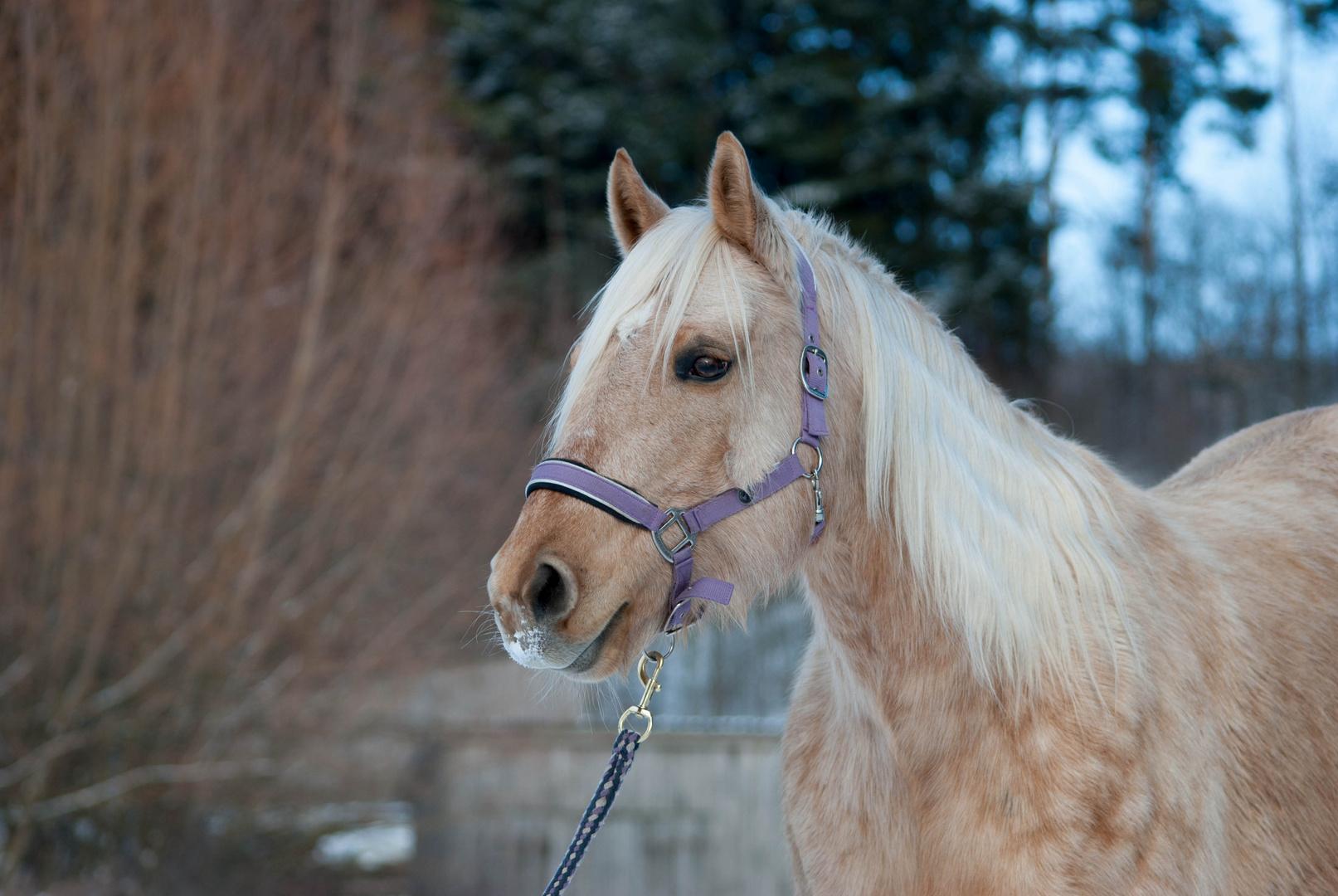 Meine Quarter Horse Sute