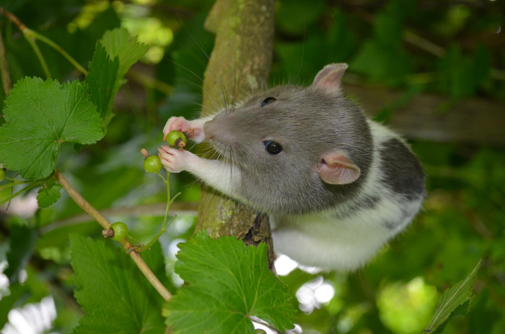 Meine Ratte Easy :)