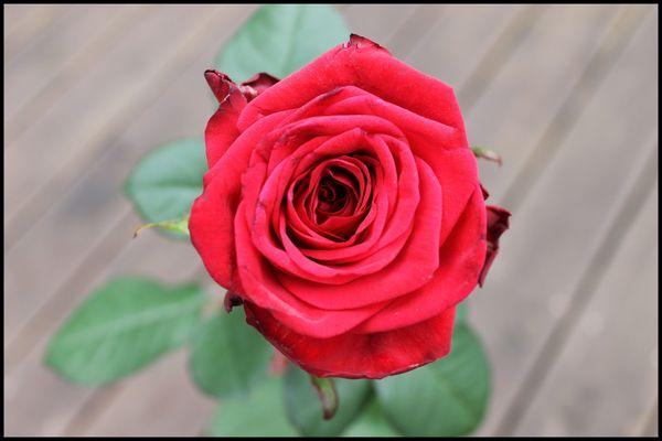 Meine Rose zum Abizeugnis
