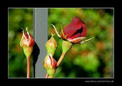 Meine Rosen - 1