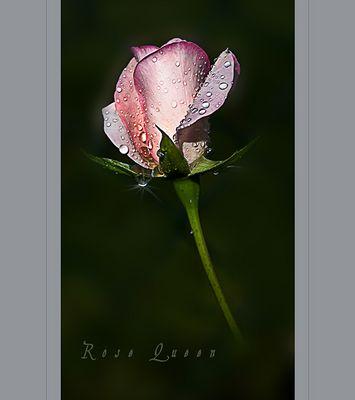 Meine Rosen ............