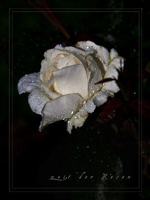 meine Rosen ...
