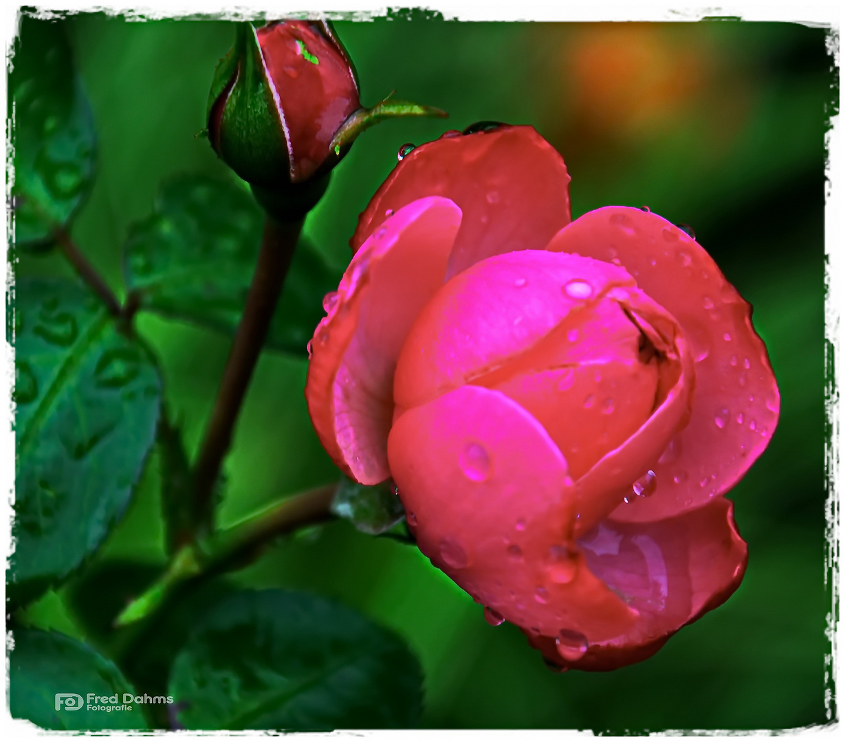 Meine Rosen II