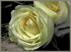 Meine Rosen , mis rosas