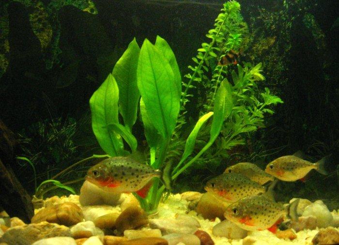 Meine Roter Piranhas ist sehr süss nicht wahr?