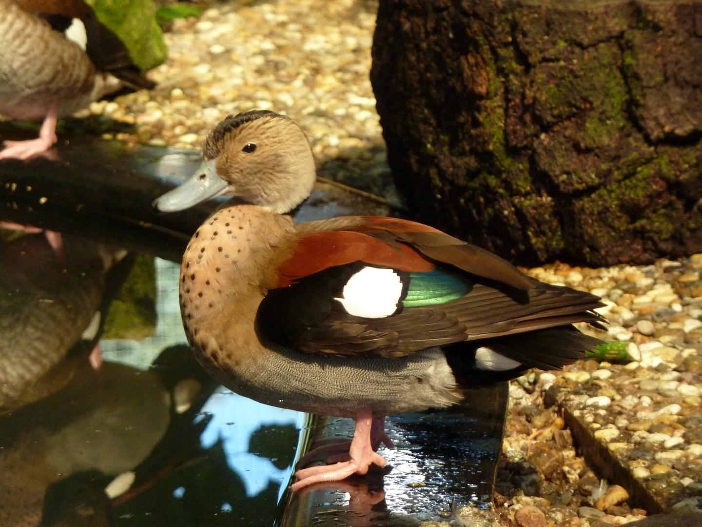 Meine Rotschulter - Ente