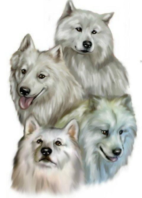 Meine Samojeden-Bande ( Nordische Schlittenhunde)