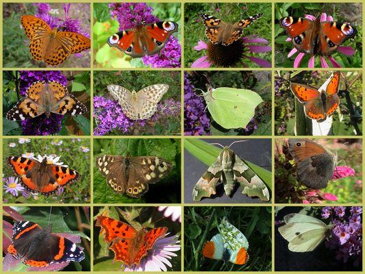Meine Schmetterlinge