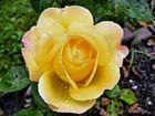 meine schönste rose...............