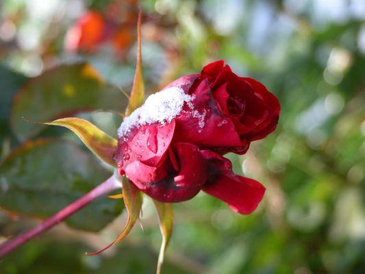 """Meine schönste """"Schnee""""rose"""