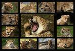 Meine schönsten Gepardenbilder 2009