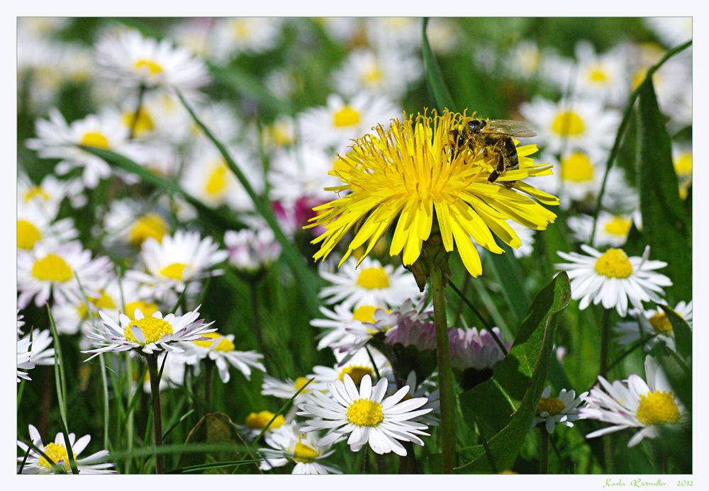 .. meine Sommerwiese (1) ...