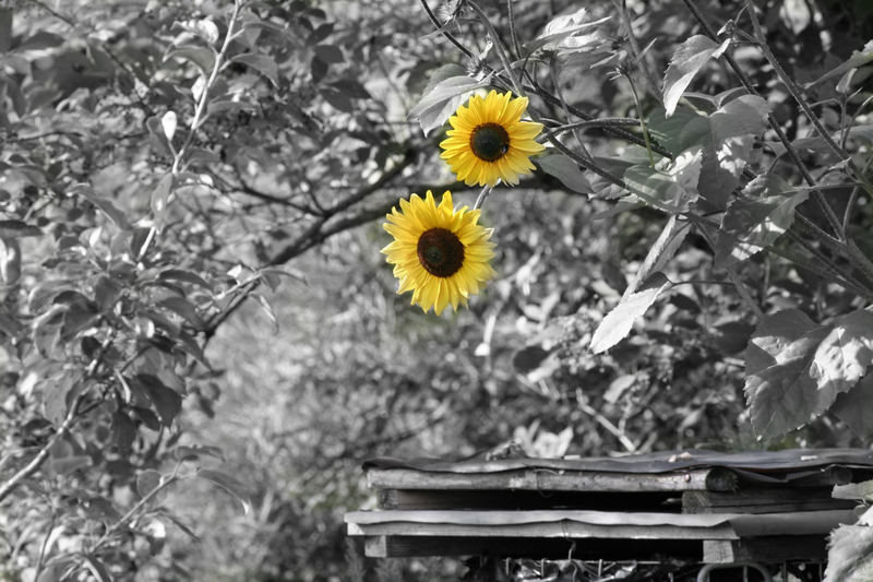 meine sonnenblume foto bild pflanzen pilze flechten bl ten kleinpflanzen. Black Bedroom Furniture Sets. Home Design Ideas