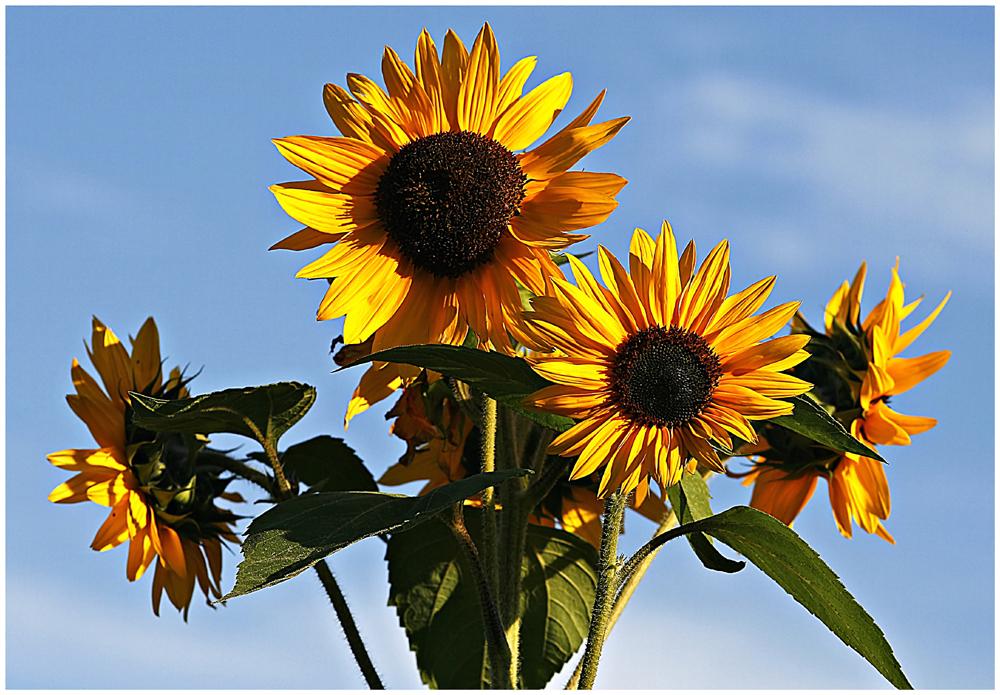 meine Sonnenblumen