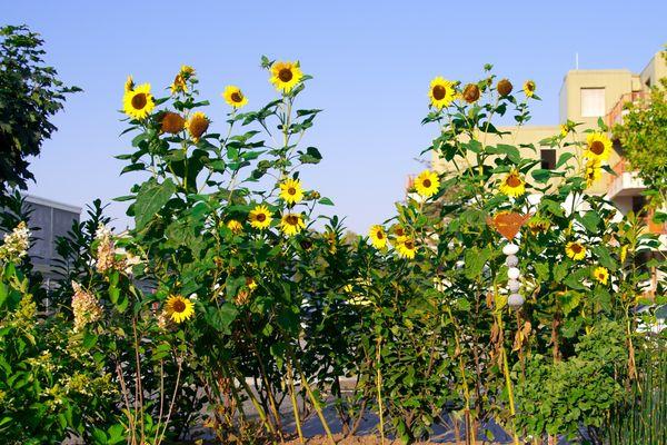 Meine Sonnenblumen sehen die ersten Sonnenstrahlen des Tages