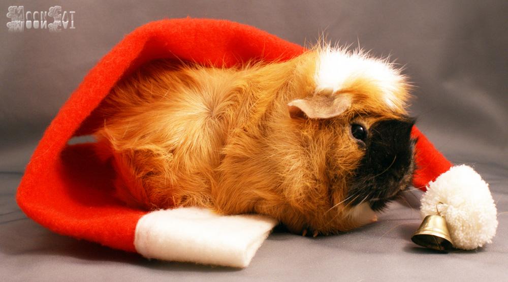 meine weihnachtliche meersau foto bild gratulation und. Black Bedroom Furniture Sets. Home Design Ideas
