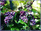 Meine Weintrauben
