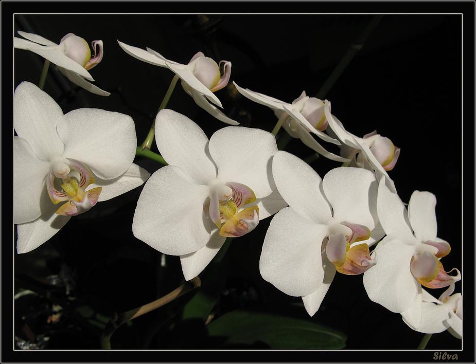 Meine weisse Orchidee ....