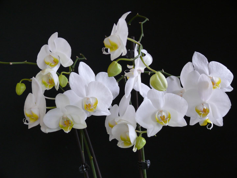 Meine wunderbare Phalaenopsisblüte (Orchidee)