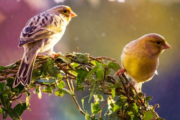 Meine zwei Kanarienvögel
