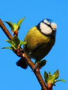 Meise auf dem Weg zum Vogelhäuschen