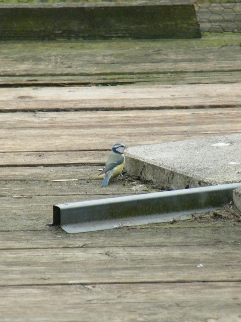 Meise auf Suche nach Nestmaterial