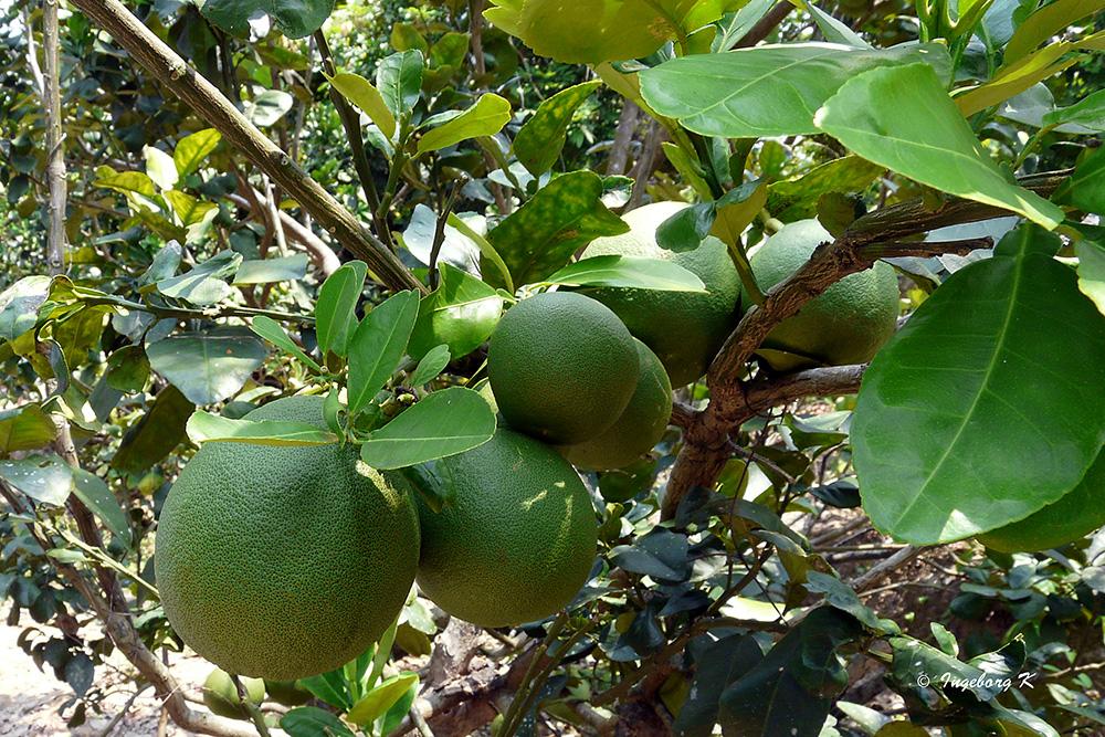 Mekong Delta - Zintronenbaum mit Früchten