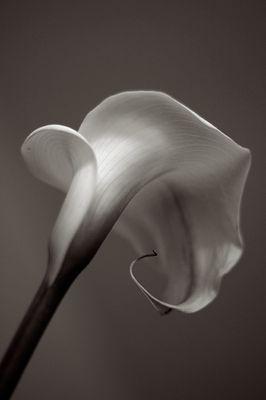 Melancholie einer Calla