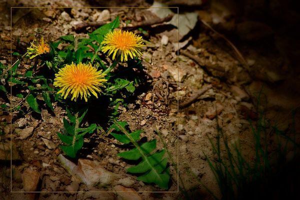 melancholy dandelion