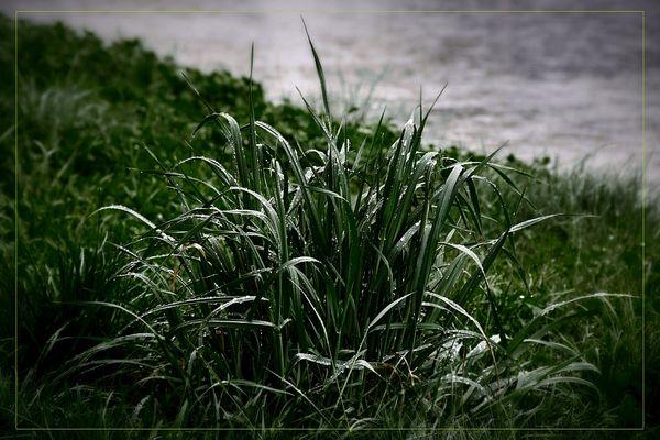 melancholy grass