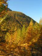 Mélèzes en automne