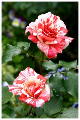 Melierte Rose