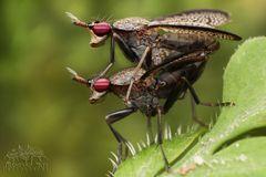 Melierte Schneckenfliegen bei der Paarung