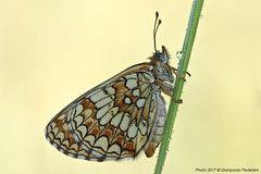 Melitaea phoebe (2)