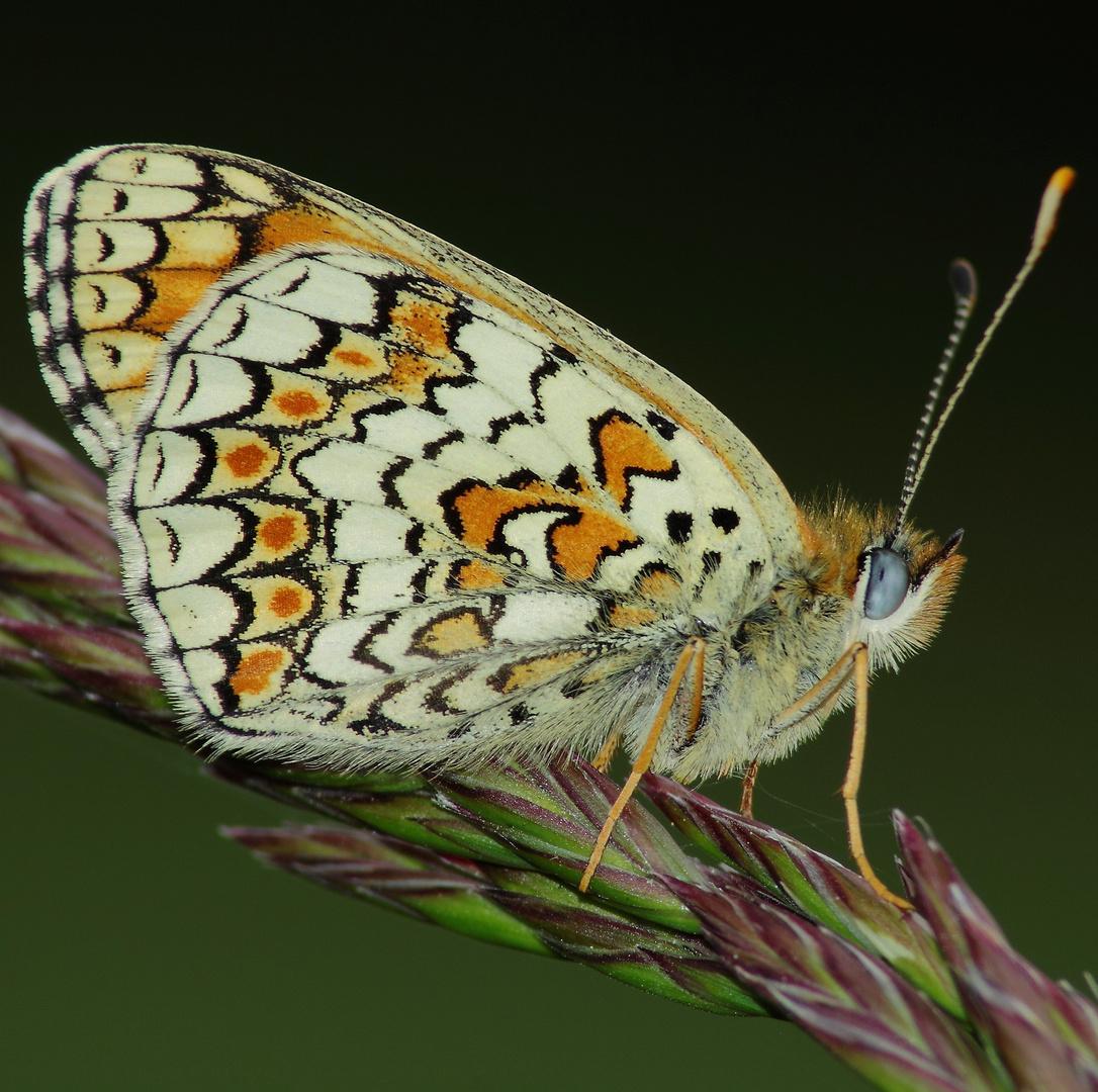 Meliteae cinxia