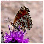 Mélitée méditant sur la fleur des champs
