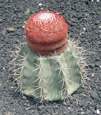 Melokaktus (Melocactus neryi)